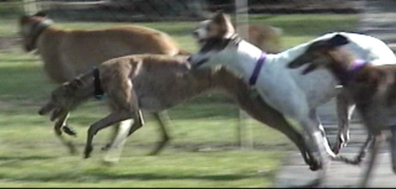 running w greyhounds 1.jpg (54098 bytes)